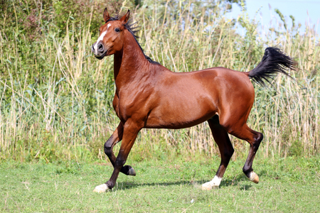 thoroughbred: Thoroughbred young stallion canter on summer meadow