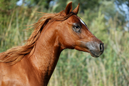 gelding: Head shot of a thoroughbred young stallion on summer meadow