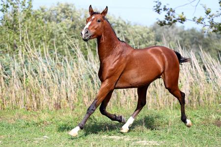 grass beautiful: Arabian stallion runs gallop across summer meadow Stock Photo