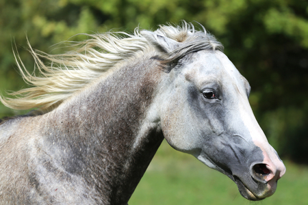 l agriculture: Head shot of a thoroughbred galloping horse on summer pasture Stock Photo