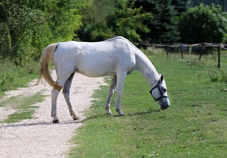 thoroughbred: Thoroughbred young grey arabian mare grazing on sunny summer meadow Stock Photo