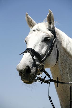 cavallo che salta: Ritratto verticale di un cavallo sportivo grigio cielo blu di sfondo