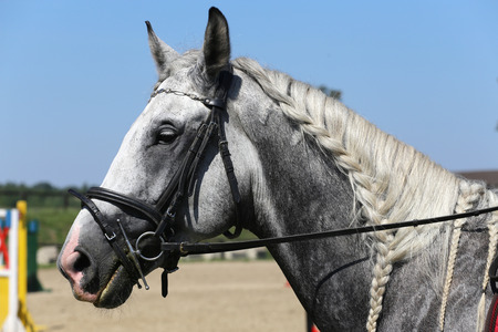 Head of a  jumping horse in dressage. Braided mane for dressage.Braiding provides an aesthetically appealing look for a jumping horse Standard-Bild