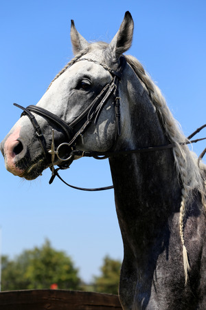dapple grey: Side view portrait of grey horse with nice braided mane against blue sky