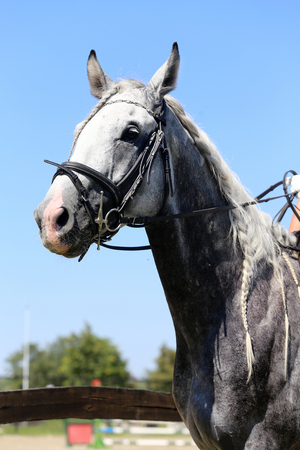 dapple grey: Head of a  jumping horse in dressage training
