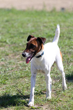 fox terrier puppy: Smooth fox terrier stands in the park Stock Photo