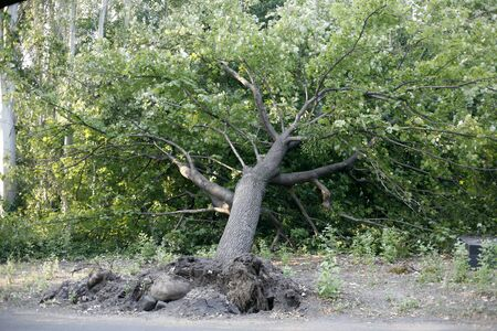 fallen tree: Uprooted fallen tree after storm in the city park damaged by big wind