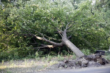 Uprooted fallen tree after storm in the city park damaged by big wind