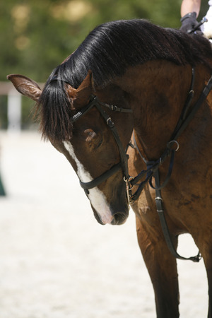 racehorse: Thoroughbred racehorse on show jumping training