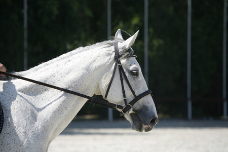 horse harness: Purebred grey colored horse head portrait closeup at equestrian show jumping training