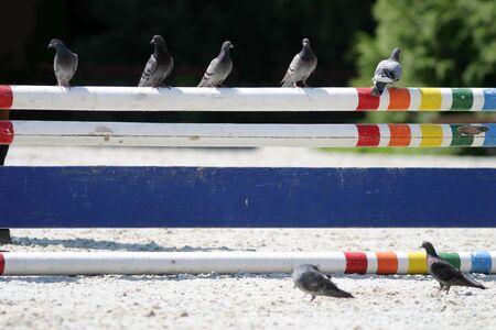 ippica: posti piccione su una barriera alla manifestazione salto ostacoli