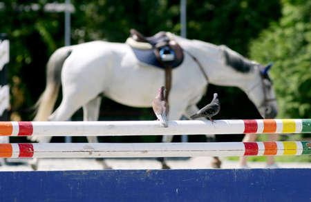 caballo corriendo: asientos de palomas en una barrera en el evento de salto en el fondo de un caballo de carreras Foto de archivo