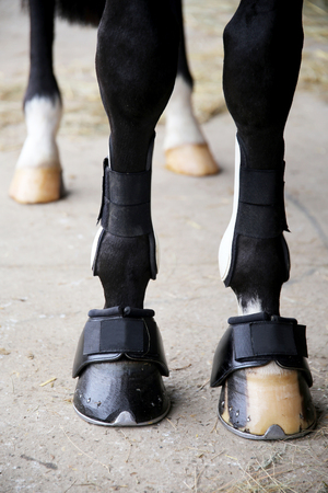 hoof: Close up of horse legs with tendon boots.  Close up of horse legs with bandages and hoof boots