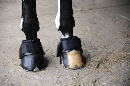 Close up of horse legs with tendon boots .  Close up of horse legs with bandages and hoof boots