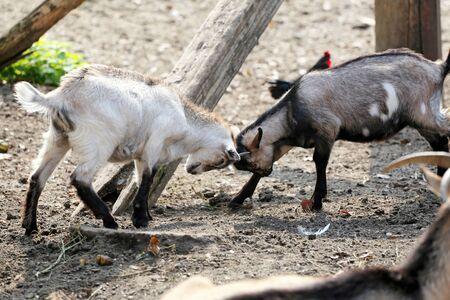 farmyard: Goat cubs playing in the farmyard rural scene