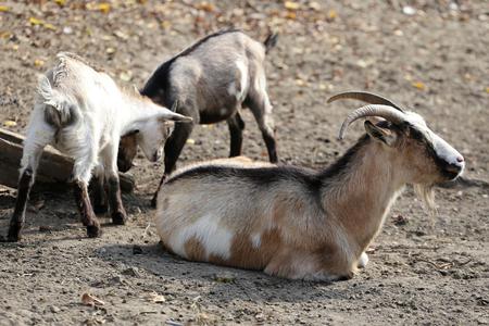 farmyard: Peaceful goats sunbathing on farmyard springtime rural scene Stock Photo