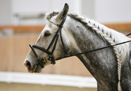 racehorse: Braided mane for dressage racehorse indoor training Stock Photo