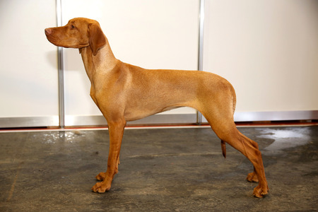 hungarian pointer: Purebred hungarian vizsla canine against white wall background Stock Photo