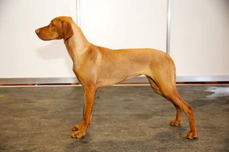 pointer dog: Side view portrait of a hungarian vizsla pointer dog