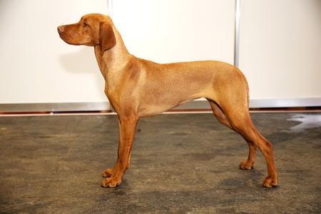 vizsla: Purebred hungarian vizsla canine against white wall background Stock Photo