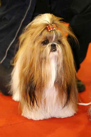 shihtzu: Chinese shih tzu puppy with unknown owner. Young shih-tzu puppy dog with unidentified breeder