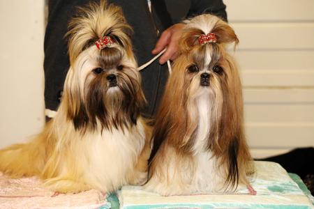 Cute shih tzu puppy dogs sitting together Standard-Bild
