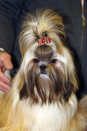 shihtzu: Young shih-tzu puppy dog with unidentified breeder