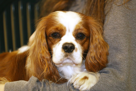cavalier: Cavalier king charles spaniel puppy in unknown breeders arms