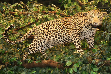 pardus: Taxidermy of a leopard panthera pardus in the jungle