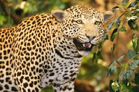 proprietary: Taxidermy of a leopard panthera pardus in the jungle