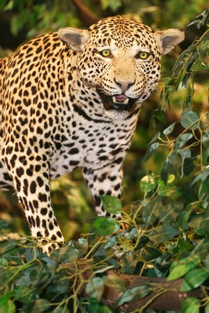 panthera pardus: Taxidermy of a leopard panthera pardus in the jungle