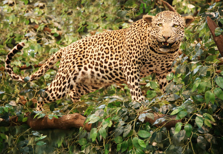 panthera pardus: Stuffed leopard panthera pardus on the tree