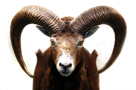 Close up of stuffed male mouflon with big curved horns on white background. Shallow depth of field