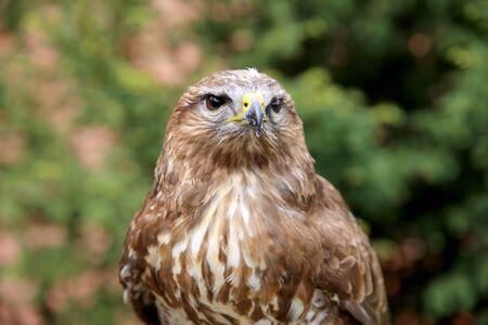 bird watcher: Head shot of an buzzard with blurred green natural background Stock Photo