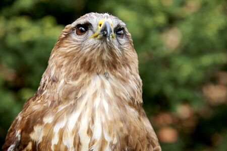 bird watcher: Portrait of a european common buzzard buteo buteo