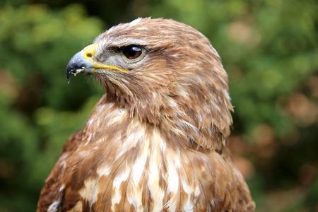falconry: Portrait of a european common buzzard buteo buteo