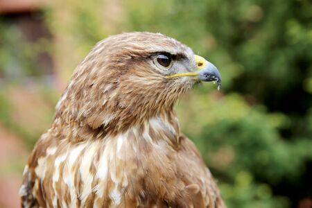 bird watcher: Side view head shot of a common buzzard buteo buteo