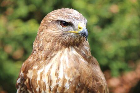 bird watcher: Eurasian buzzard also known as the common buzzard