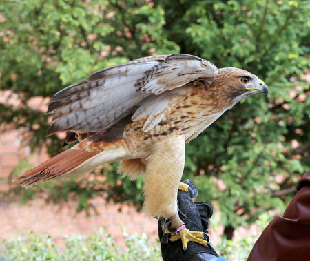 birdwatcher: Bird of prey red-tailed hawk known in the United States as chickenhawk. Red-tailed chickenhawk on gloved hand