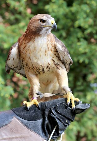 birdwatcher: Bird of prey red-tailed hawk known in the United States as chickenhawk. American chickenhawk perched on gloved hand Stock Photo