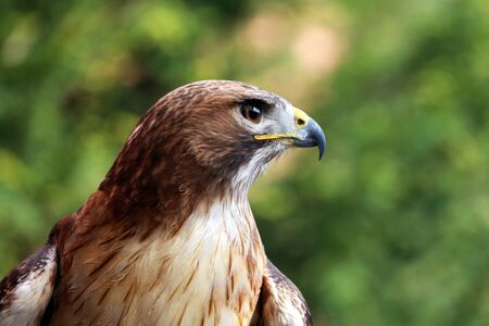 birdwatcher: Side view head shot of a red-tailed hawk with blurred green natural background  Stock Photo