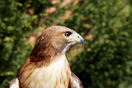bird of prey: Bird of prey red-tailed hawk head against green natural background Stock Photo