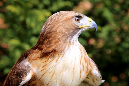 birdwatcher: Bird of prey red-tailed hawk head against green natural background Stock Photo