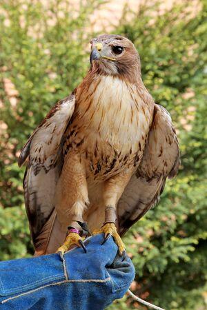 birdwatcher: Bird of prey red-tailed hawk known in the United States as chickenhawk