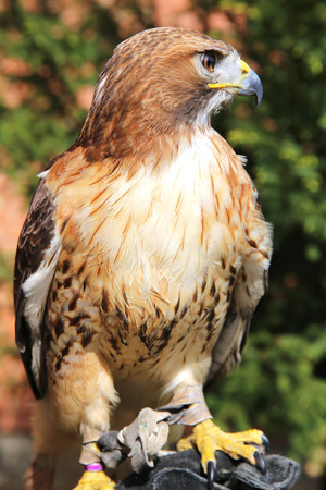 gloved: Red-tailed chickenhawk on gloved hand. Trained red-hawk sitting on the falconers glove