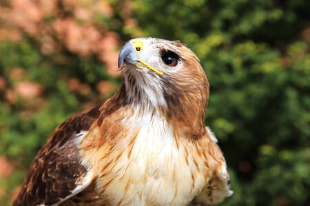 birdwatcher: Close up detailed photograph of a red-tailed hawk on green natural background