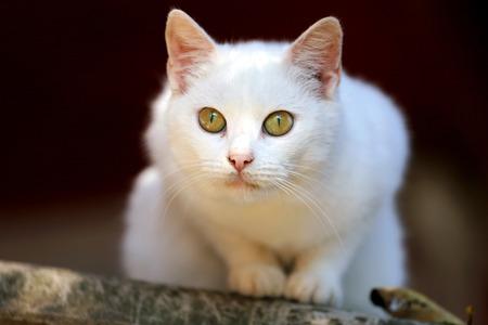 ojos verdes: Retrato de un gato blanco con los ojos verdes