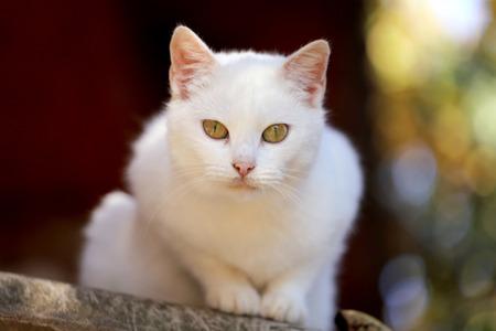 eyes green: Retrato de un gato blanco con los ojos verdes