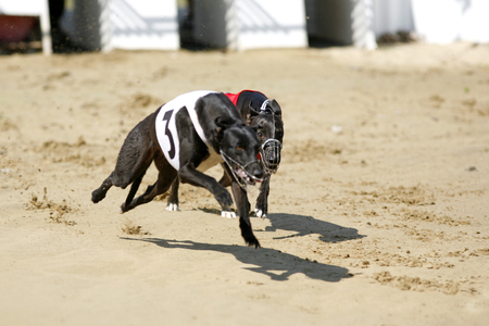 Sprinting dynamic greyhound on the race course