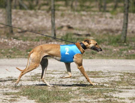 racer: Beautiful young racer dog walking on leading strings